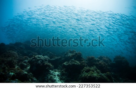 school of scad fish in Dimakya island, Palawan, Philippines.