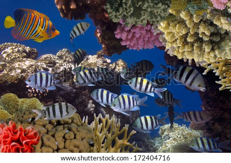 School of Sergeant-major.Red Sea, Egypt - stock photo