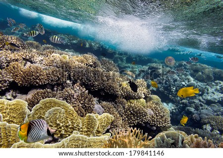 School of Sergeant-major, red Sea, Egypt. - stock photo