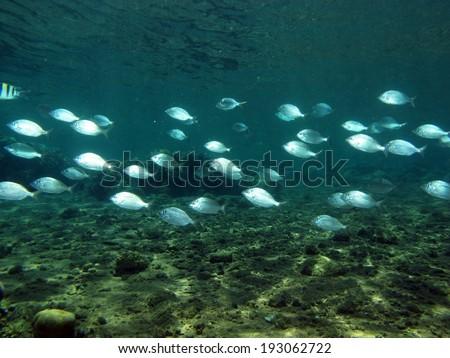 School of silver mojarras in a shallow lagoon - stock photo