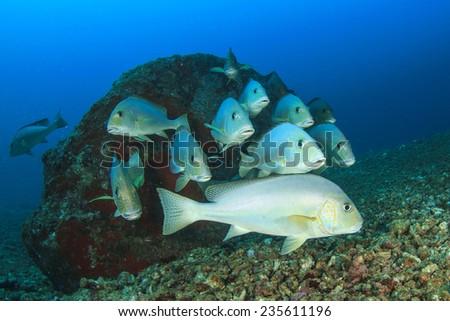 School of Silver Sweetlips fish underwater - stock photo