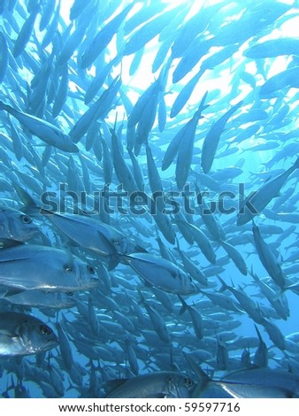 school of trevally hunting - stock photo