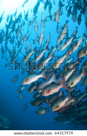 School of tropical Twinspot snapper, blue background. Shark reef, Ras Mohamed national Park, Red Sea, Egypt. - stock photo