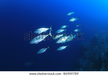 School of Tuna Fish in the Sea - stock photo