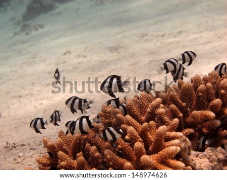 School of very little fishes - Humbug dascyllus (Dascyllus aruanus), hiding themselves inside the hard coral on the sandy bottom. Red sea, Egypt - stock photo