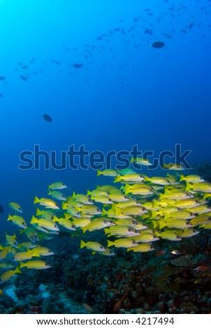 School of yellow fish - stock photo