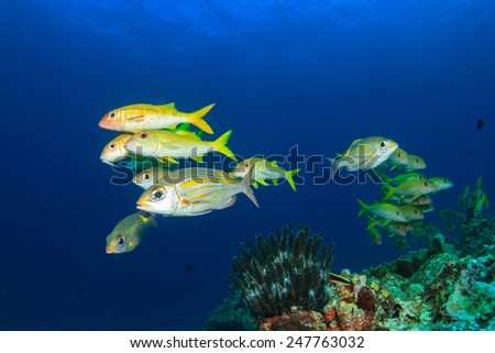 School of yellow fish: Goatfish and Snappers - stock photo