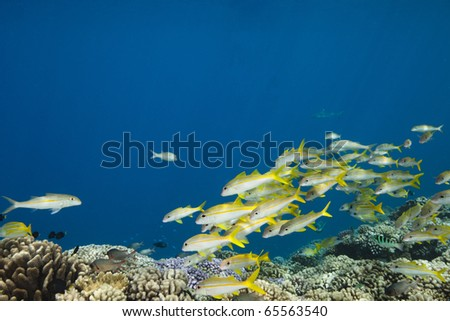 School of yellow-tail snapper Ocyurus chrysurus in deep blue of pacific ocean - stock photo