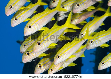 School of yellowfin goatfish, Mulloides vanicolensis, Marsa Alam, Egyptian Red Sea.
