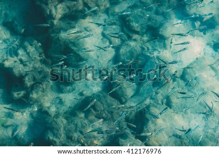 Schooling juvenile fish in crystal clear azure water.  - stock photo
