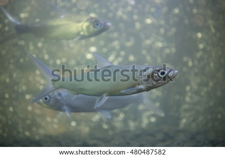 Schooling MILKFISH of fish farming in glass-fishes.