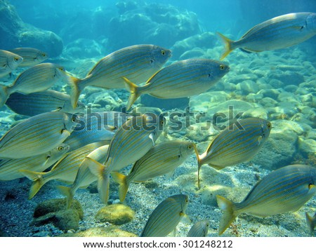 Schooling sea bream fish Sarpa salpa, known commonly as the salema porgy, cow bream or goldline, Mediterranean sea, Corsica - stock photo