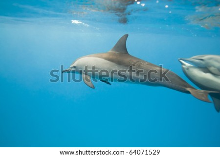 Schooling Spinner dolphins (Stenella longirostris). Sataya, Southern Red Sea, Egypt. Selective focus. - stock photo