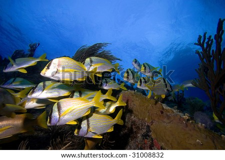 Schooling tropical fish, Key Largo - stock photo