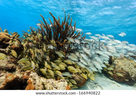 Schools of colorful fish on the coral reef in Hol Chan Marine Reserve - stock photo