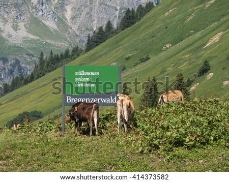 SCHROECKEN, AUSTRIA, JUNE 30: Some cows standing by the Bregenzerwald sign in Austria, 2015. - stock photo