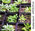 Scientific laboratory growing arabidopsis. selection for transgenic plant - stock photo