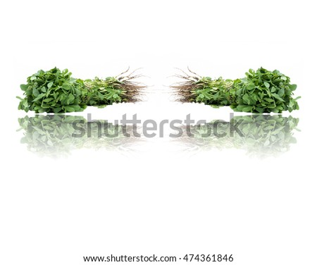 Scientific name: Trigonella foenum-graecum Fenugreek/Methi and its reflection, isolated on white. Concept of healthy food.