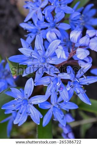 Scilla bifolia. Blue spring flower. - stock photo