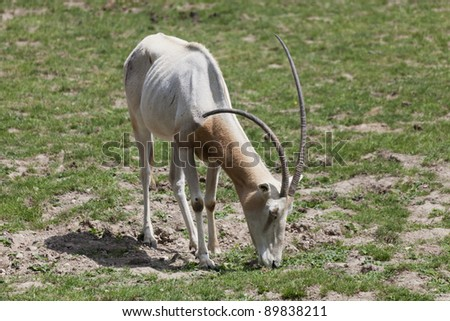 Scimitar Oryx grazing - Oryx dammah - stock photo