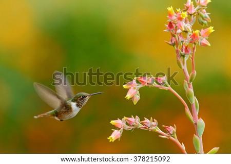Scintillant Hummingbird, Selasphorus scintilla, tiny bird, smallest hummingbird from Costa Rica, action feeding scene next tu beautiful orange yellow flower, Savegre, Costa Rica - stock photo