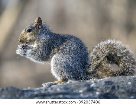 Sciurus carolinensis, common name eastern gray squirrel or grey squirrel depending on region, is a tree squirrel in the genus Sciurus - stock photo