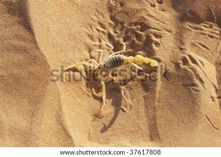 scorpion - stock photo