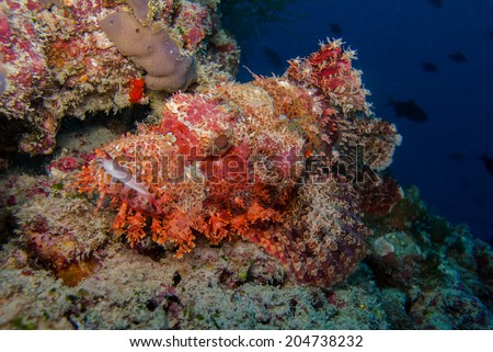 Scorpion fish - stock photo