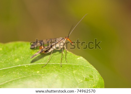scorpion fly - stock photo