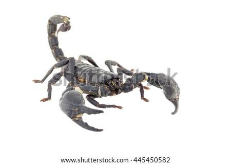 Scorpion isolated on white background - stock photo