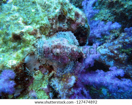 scorpionfish while diving the coral reef of Richelieu Rock & Similan Islands,Thailand - stock photo