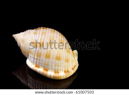 Scotch Bonnet sea shell with on black background, with copy space 100 percent black. - stock photo