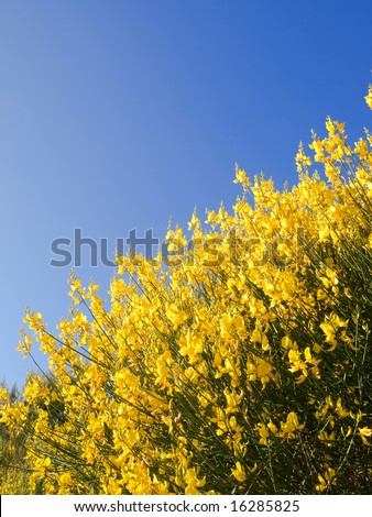Scotch Broom in full bloom at spring - stock photo