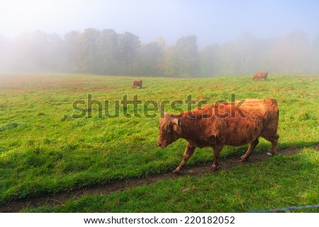 Scotch Highland cattle walking along a path, Stowe, Vermont, USA - stock photo