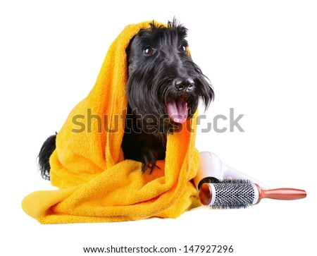 Scotch terrier in yellow towel sitting on a white background