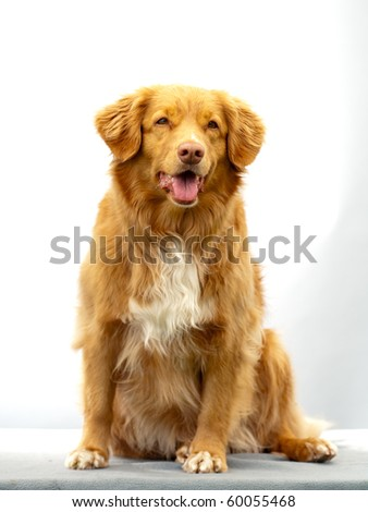 Scotia Duck Tolling Retriever sitting in studio