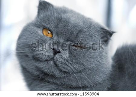 scotitish fold grey cat - stock photo