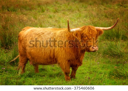 Scotland Angus Longhorn Cattle