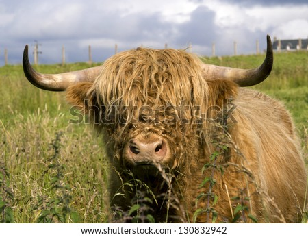 scotland cow in highlands - stock photo