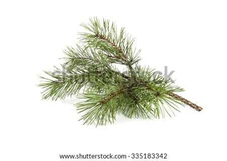 Scots pine branch. Studio photography on a white background. - stock photo
