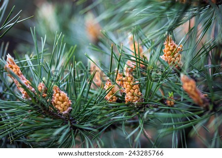 Scots pine branches with yellow pollen-producing male cones - stock photo
