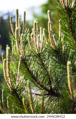 Scots pine (Pinus sylvestris) branches with young shoots - stock photo