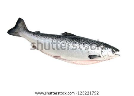 Scottish Atlantic Salmon whole, isolated on a white studio background. - stock photo