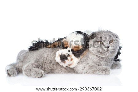 Scottish cat and sleeping Cocker Spaniel puppy lying together. isolated on white background - stock photo