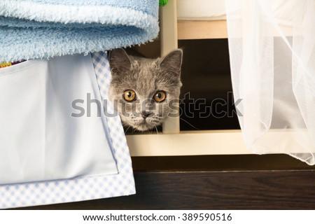 Scottish cat hides - stock photo
