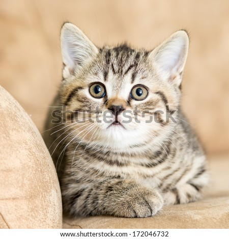 Scottish cat kitten lying on the couch - stock photo