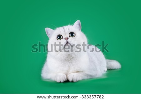 Scottish cat on a green background isolated - stock photo