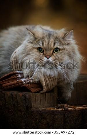 Scottish cat on a tree stump. - stock photo