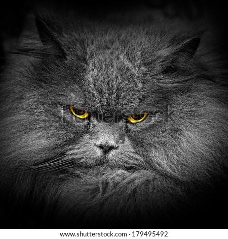 scottish cat portrait  - stock photo