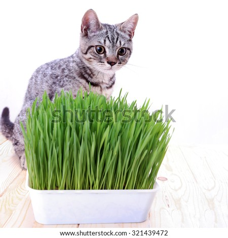 Scottish cat sit behind  grass basket on wood  table - stock photo